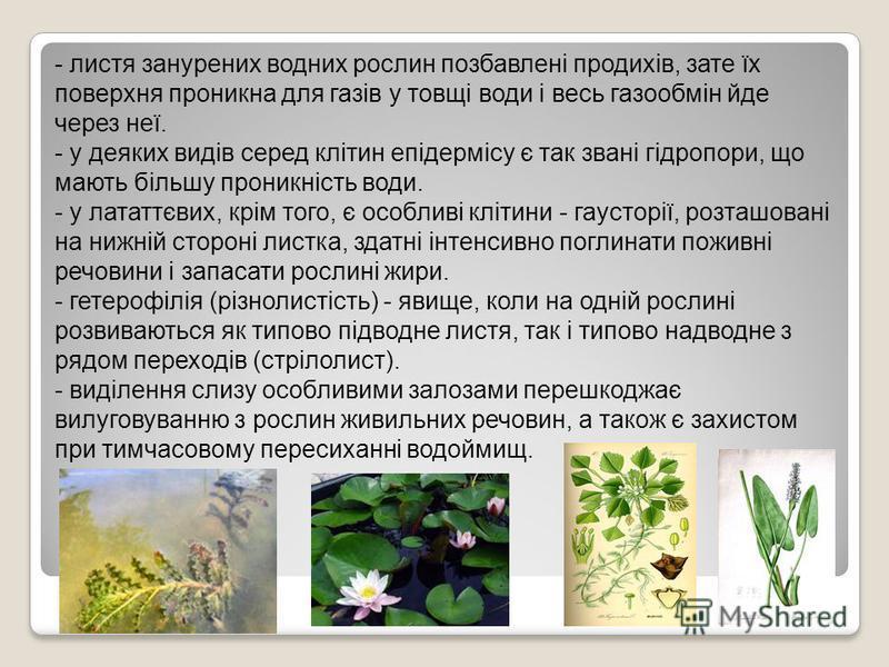 - листя занурених водних рослин позбавлені продихів, зате їх поверхня проникна для газів у товщі води і весь газообмін йде через неї. - у деяких видів серед клітин епідермісу є так звані гідропори, що мають більшу проникність води. - у лататтєвих, кр