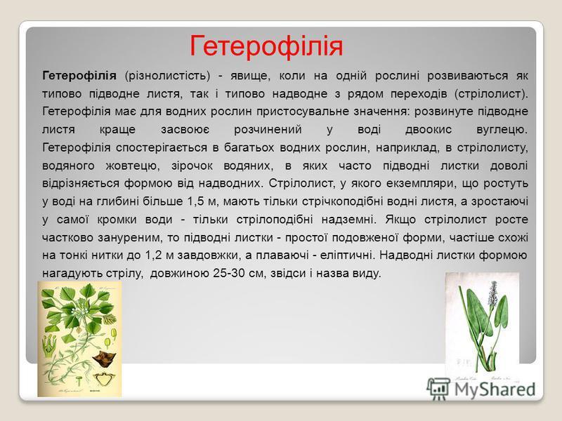 Гетерофілія (різнолистість) - явище, коли на одній рослині розвиваються як типово підводне листя, так і типово надводне з рядом переходів (стрілолист). Гетерофілія має для водних рослин пристосувальне значення: розвинуте підводне листя краще засвоює