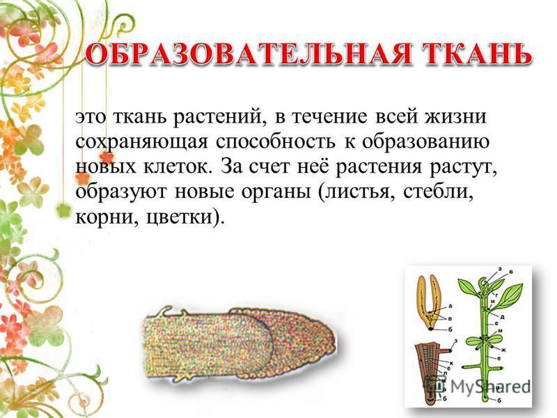 это ткань растений, в течение всей жизни сохраняющая способность к образованию новых клеток. За счет неё растения растут, образуют новые органы (листья, стебли, корни, цветки).