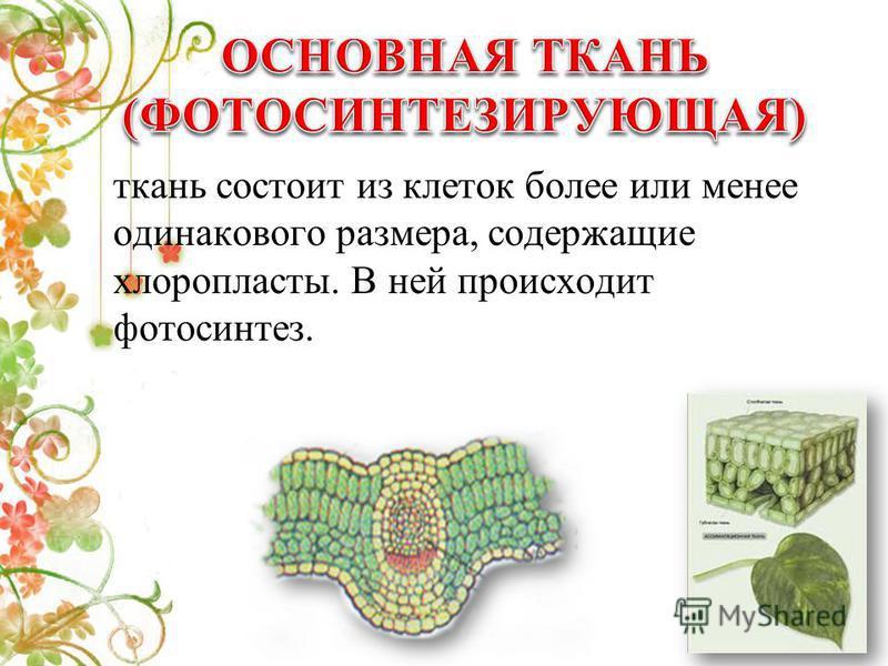 ткань состоит из клеток более или менее одинакового размера, содержащие хлоропласты. В ней происходит фотосинтез.