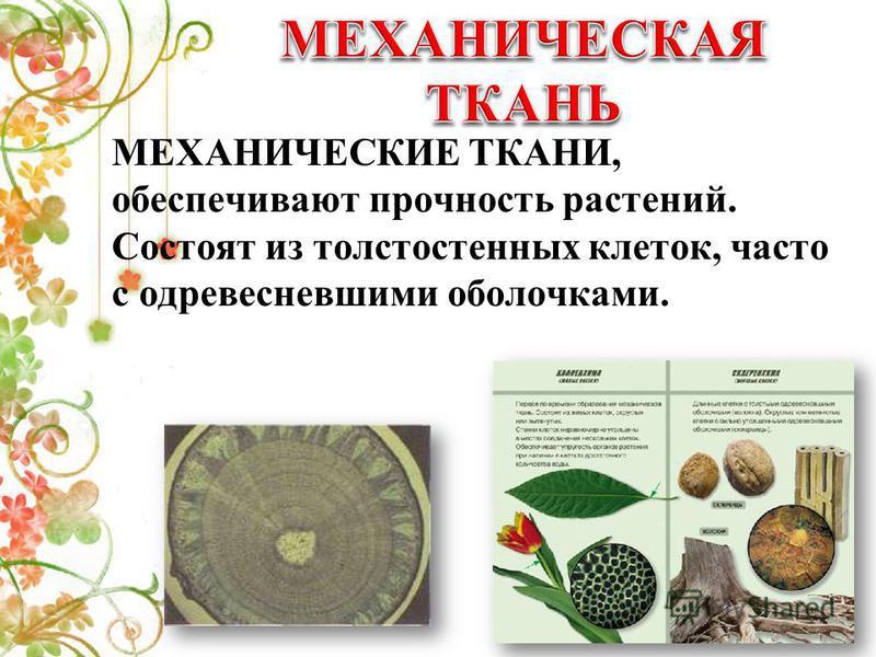 МЕХАНИЧЕСКИЕ ТКАНИ, обеспечивают прочность растений. Состоят из толстостенных клеток, часто с одревесневшими оболочками.