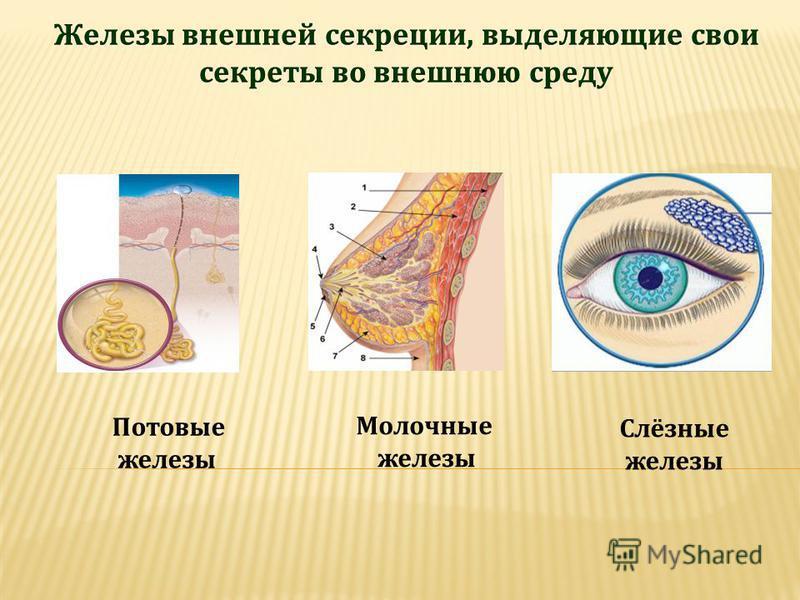 Потовые железы Молочные железы Слёзные железы
