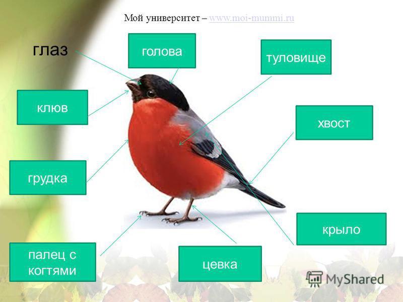 Мой университет – www.moi-mummi.ruwww.moi-mummi.ru глаз голова клюв туловище хвост крыло цевка палец с когтями грудка