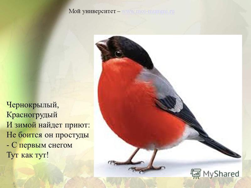 Мой университет – www.moi-mummi.ruwww.moi-mummi.ru Чернокрылый, Красногрудый И зимой найдет приют: Не боится он простуды - С первым снегом Тут как тут!