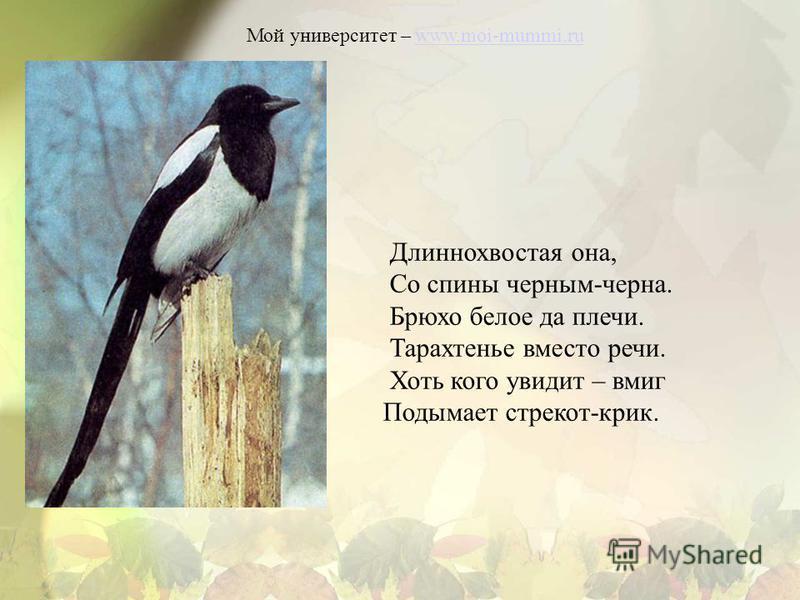 Мой университет – www.moi-mummi.ruwww.moi-mummi.ru Длиннохвостая она, Со спины черным-черна. Брюхо белое да плечи. Тарахтенье вместо речи. Хоть кого увидит – вмиг Подымает стрекот-крик.