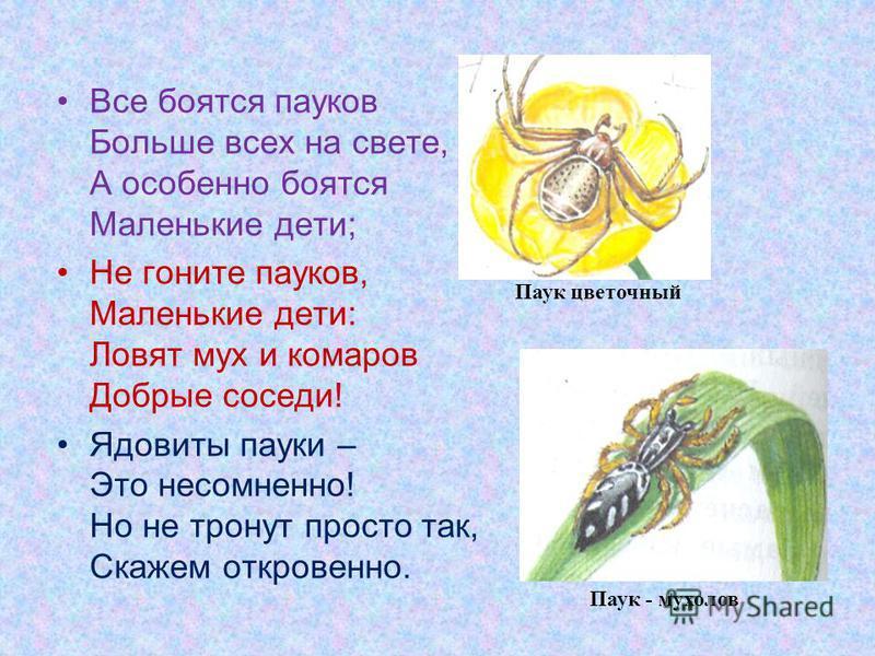Все боятся пауков Больше всех на свете, А особенно боятся Маленькие дети; Не гоните пауков, Маленькие дети: Ловят мух и комаров Добрые соседи! Ядовиты пауки – Это несомненно! Но не тронут просто так, Скажем откровенно. Паук - мухолов Паук цветочный