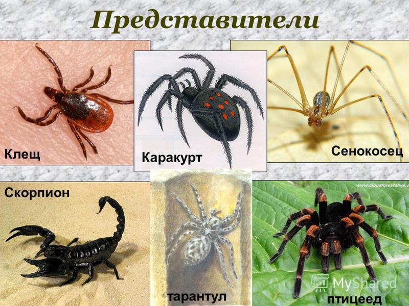 Представители Скорпион Клещ Сенокосец Каракурт тарантул птицеед