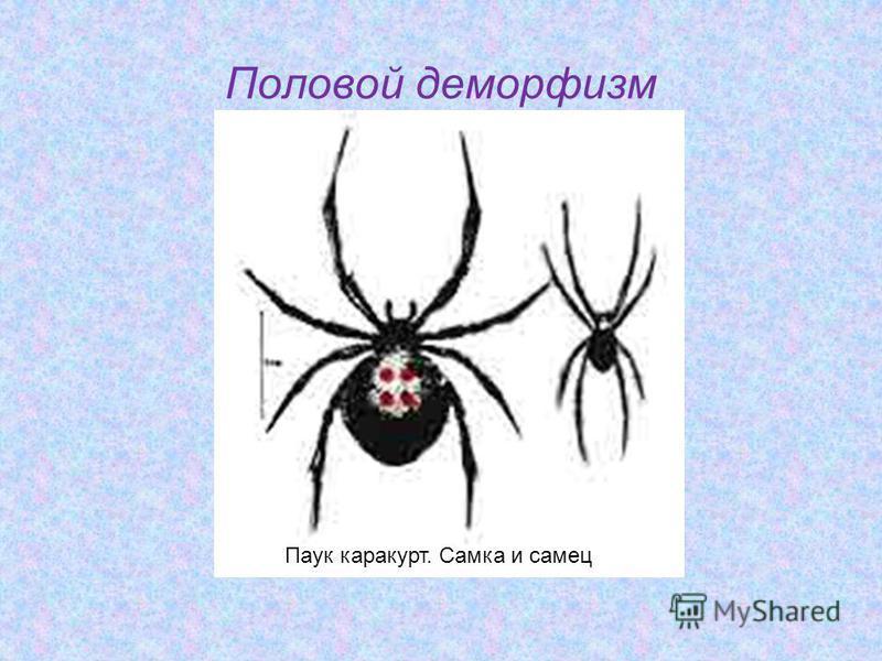 Половой диморфизм Паук каракурт. Самка и самец