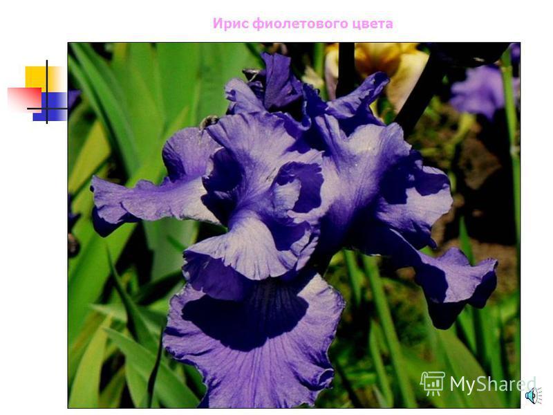 Тюльпан фиолетового цвета