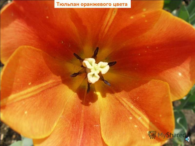Лилия оранжевого цвета