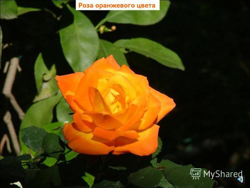 Ирис оранжевого цвета