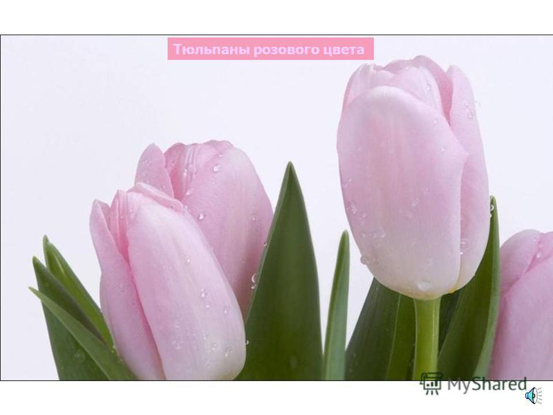 Мак розового цвета