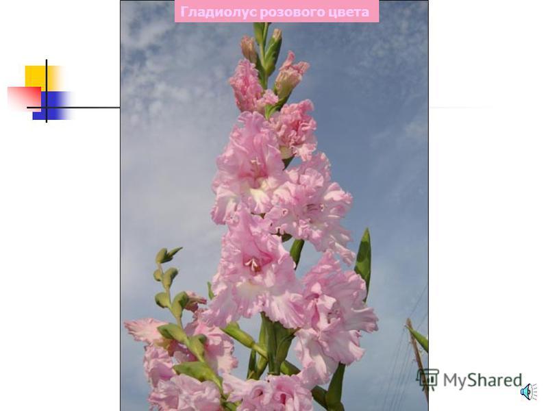 Хризантема розового цвета