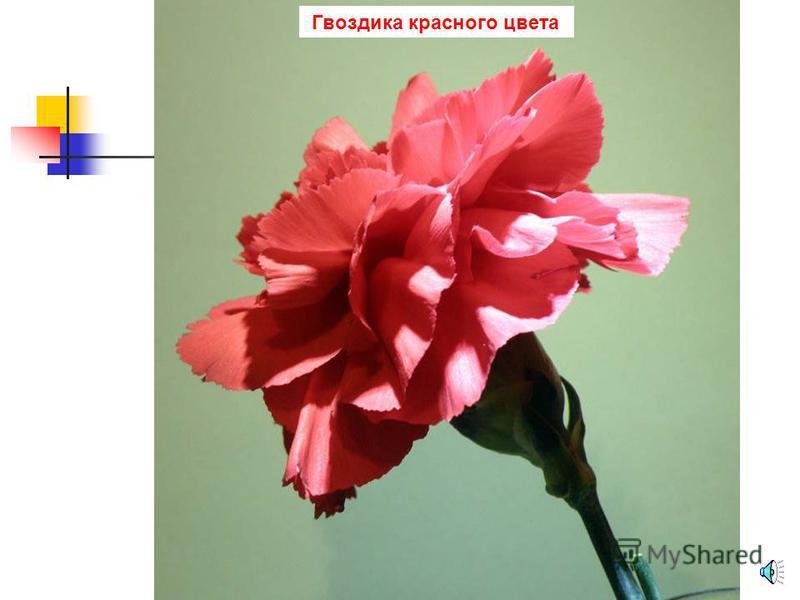 Гладиолус розового цвета