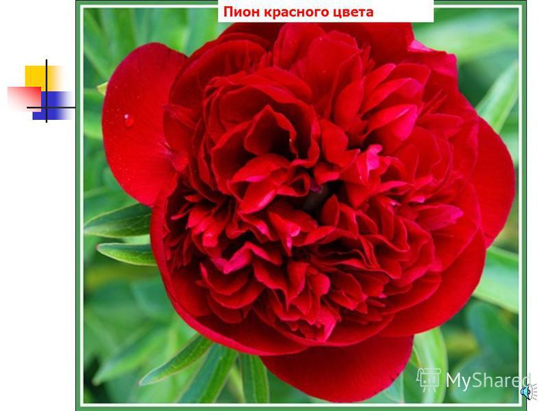 Хризантемы красного цвета