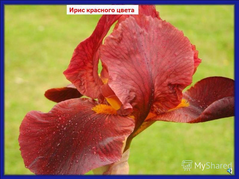 Лилии красного цвета