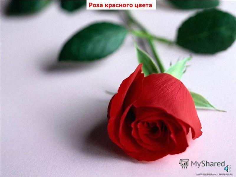Астра красного цвета