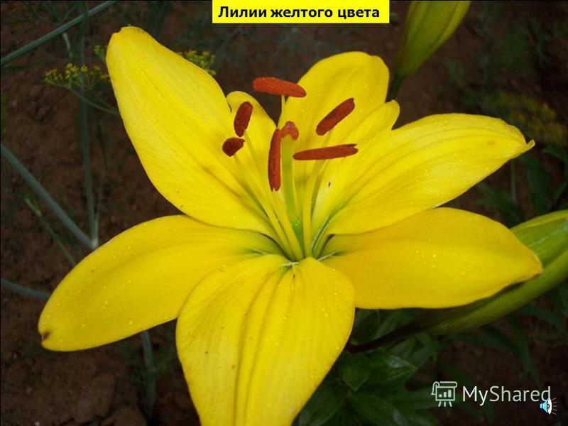 Тюльпаны желтого цвета