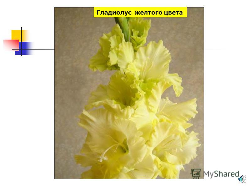 Мимоза желтого цвета