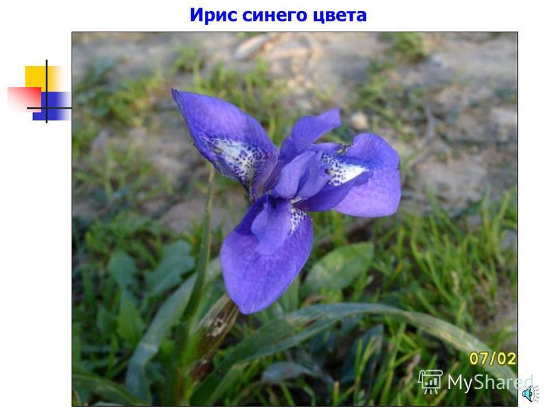 Роза синего цвета