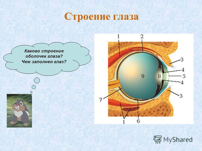 Каково строение оболочек глаза? Чем заполнен глаз? Строение глаза