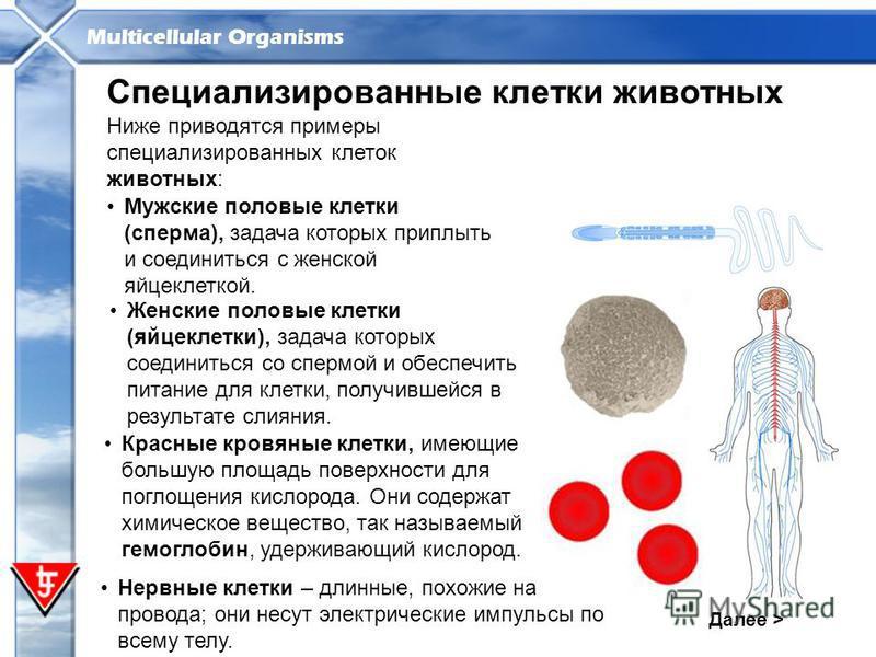 Multicellular Organisms Далее > Специализированные клетки животных Ниже приводятся примеры специализированных клеток животных: Мужские половые клетки (сперма), задача которых приплыть и соединиться с женской яйцеклеткой. Нервные клетки – длинные, пох