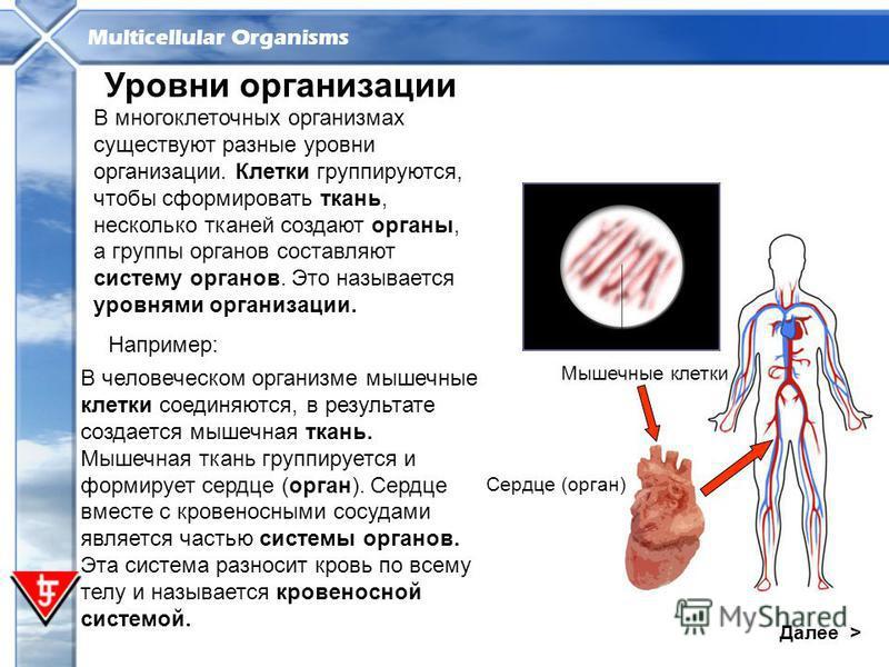 Multicellular Organisms Далее > Уровни организации Например: В многоклеточных организмах существуют разные уровни организации. Клетки группируются, чтобы сформировать ткань, несколько тканей создают органы, а группы органов составляют систему органов