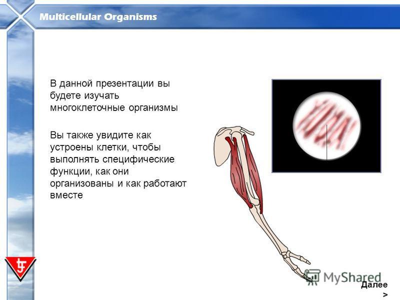 Multicellular Organisms Далее > В данной презентации вы будете изучать многоклеточные организмы Вы также увидите как устроены клетки, чтобы выполнять специфические функции, как они организованы и как работают вместе