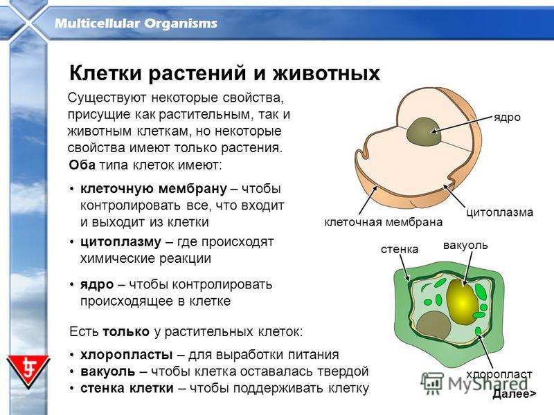 Multicellular Organisms клеточную мембрану – чтобы контролировать все, что входит и выходит из клетки Далее> Клетки растений и животных Существуют некоторые свойства, присущие как растительным, так и животным клеткам, но некоторые свойства имеют толь