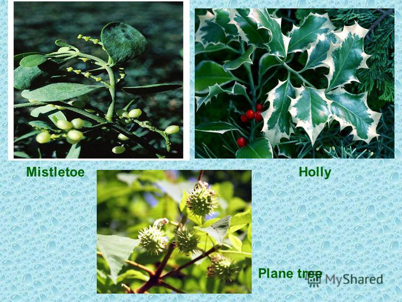 Mistletoe Holly Plane tree