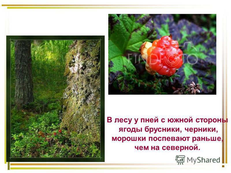 В лесу у пней с южной стороны ягоды брусники, черники, морошки поспевают раньше, чем на северной.