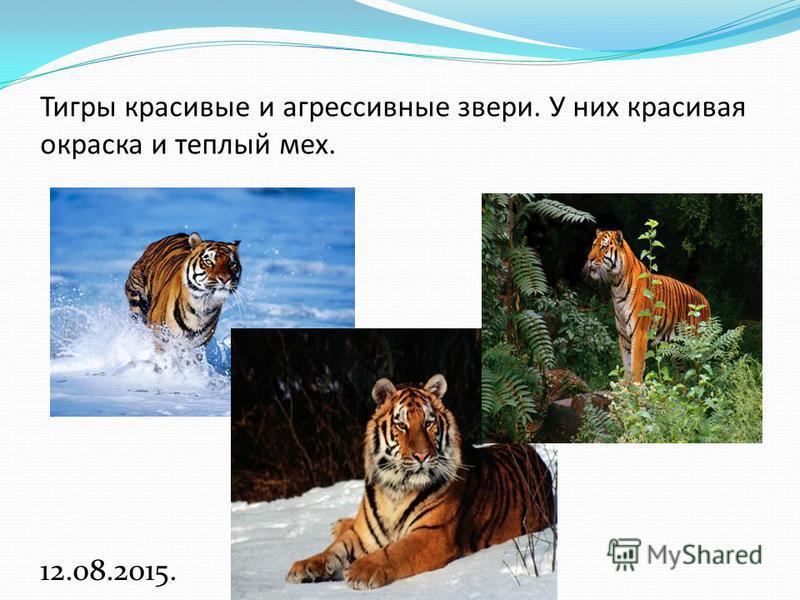 Тигры красивые и агрессивные звери. У них красивая окраска и теплый мех. 12.08.2015.