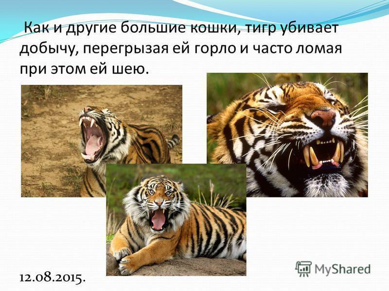 Как и другие большие кошки, тигр убивает добычу, перегрызая ей горло и часто ломая при этом ей шею. 12.08.2015.