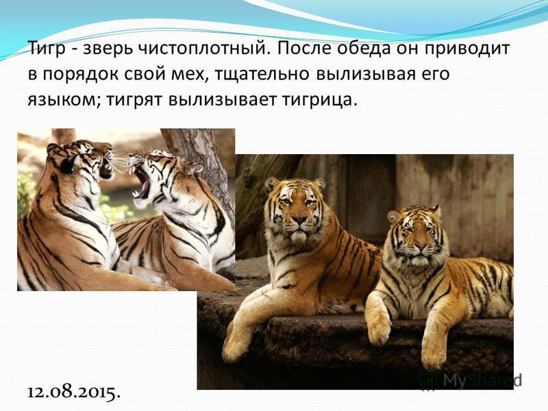 Тигр - зверь чистоплотный. После обеда он приводит в порядок свой мех, тщательно вылизывая его языком; тигрят вылизывает тигрица. 12.08.2015.