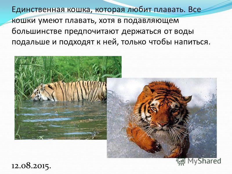 Единственная кошка, которая любит плавать. Все кошки умеют плавать, хотя в подавляющем большинстве предпочитают держаться от воды подальше и подходят к ней, только чтобы напиться. 12.08.2015.