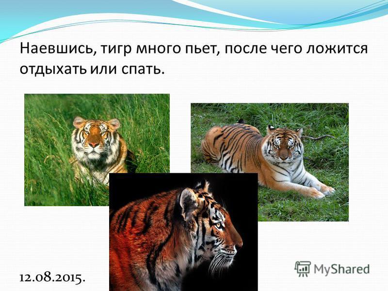 Наевшись, тигр много пьет, после чего ложится отдыхать или спать. 12.08.2015.