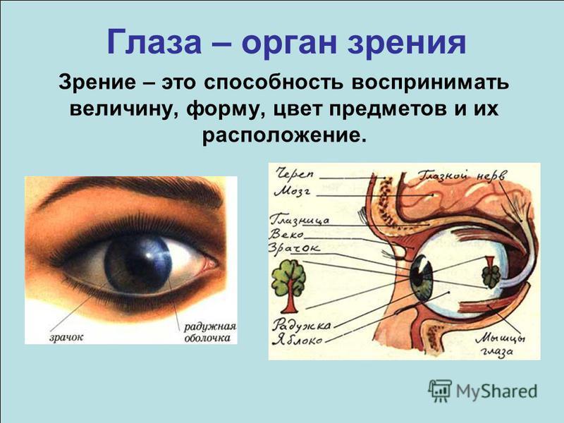 Глаза – орган зрения Зрение – это способность воспринимать величину, форму, цвет предметов и их расположение.