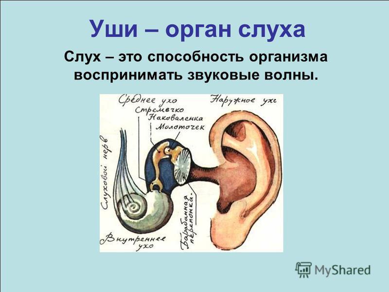 Уши – орган слуха Слух – это способность организма воспринимать звуковые волны.