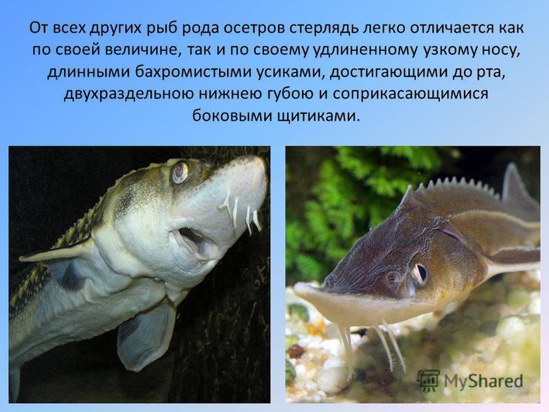 От всех других рыб рода осетров стерлядь легко отличается как по своей величине, так и по своему удлиненному узкому носу, длинными бахромистыми усиками, достигающими до рта, двухраздельною нижнею губою и соприкасающимися боковыми щитиками.