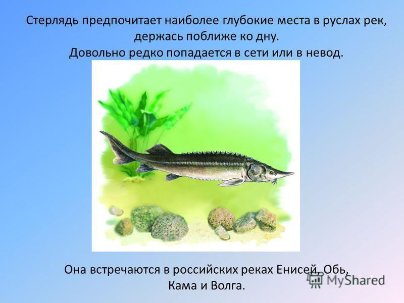 Стерлядь предпочитает наиболее глубокие места в руслах рек, держась поближе ко дну. Довольно редко попадается в сети или в невод. Она встречаются в российских реках Енисей, Обь, Кама и Волга.