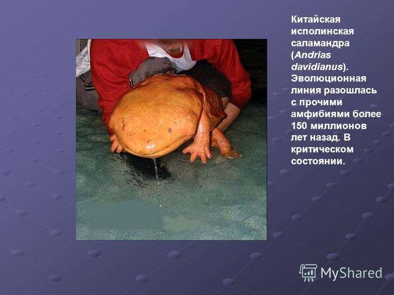 Китайская исполинская саламандра (Andrias davidianus). Эволюционная линия разошлась с прочими амфибиями более 150 миллионов лет назад. В критическом состоянии.