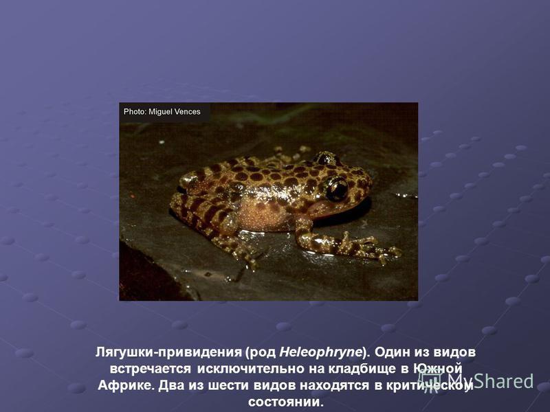 Лягушки-привидения (род Heleophryne). Один из видов встречается исключительно на кладбище в Южной Африке. Два из шести видов находятся в критическом состоянии.