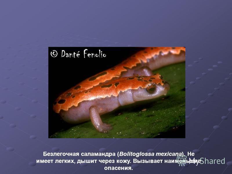 Безлегочная саламандра (Bolitoglossa mexicana). Не имеет легких, дышит через кожу. Вызывает наименьшие опасения.