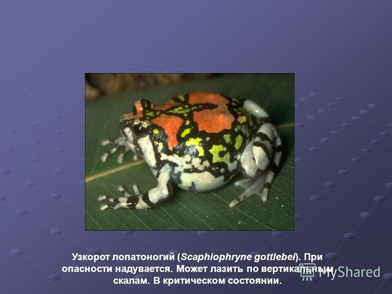 Узкорот лопатоногий (Scaphiophryne gottlebei). При опасности надувается. Может лазить по вертикальным скалам. В критическом состоянии.