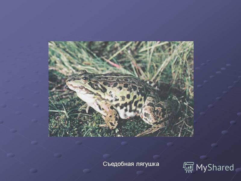 Съедобная лягушка