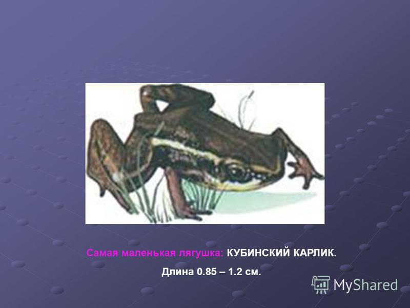 Самая маленькая лягушка: КУБИНСКИЙ КАРЛИК. Длина 0.85 – 1.2 см.