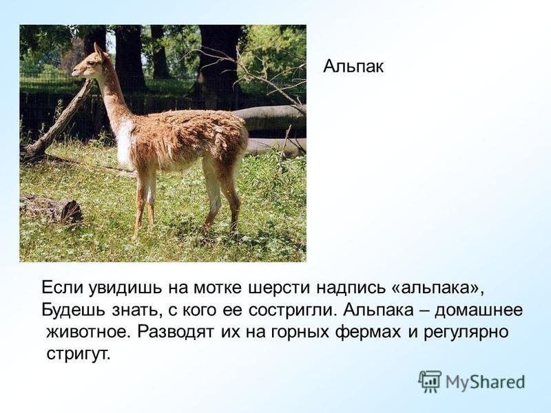 Лама – домашнее животное, но шерсть у нее грубее, чем у викуньи. Из нее ткут коврики и особую одежду – пончо.