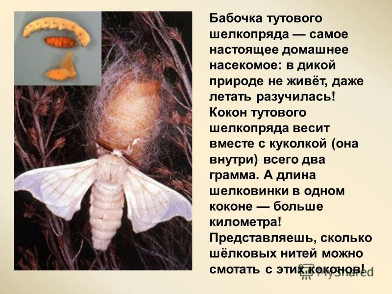 Шелк вырабатывает гусеница невзрачной на вид бабочки - тутового шелкопряда. Шелк самое крепкое из натуральных волокон. Крепость шелковой нити равна крепости стальной проволоки того же диаметра. Шелк впитывает влагу, что делает его прохладным летом и
