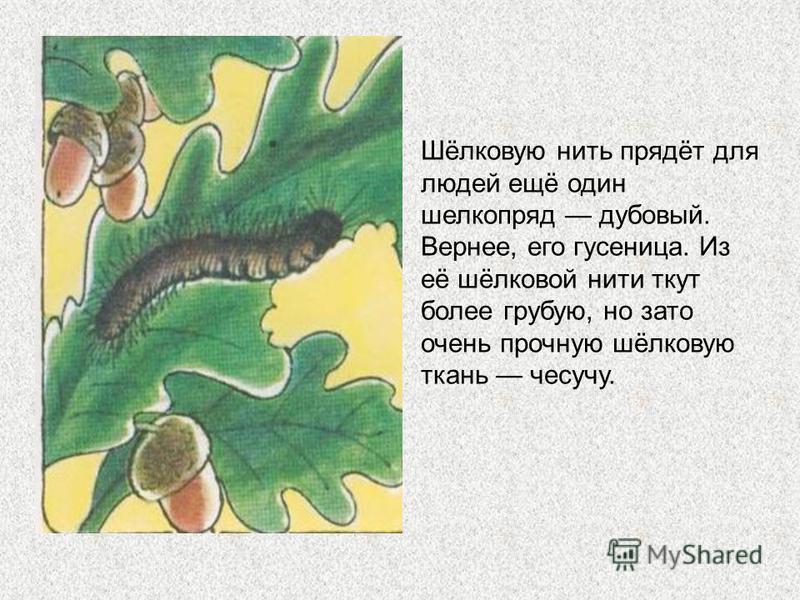 Бабочка тутового шелкопряда самое настоящее домашнее насекомое: в дикой природе не живёт, даже летать разучилась! Кокон тутового шелкопряда весит вместе с куколкой (она внутри) всего два грамма. А длина шелковинки в одном коконе больше километра! Пре