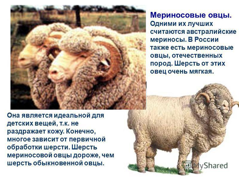 Овцы По своим характеристикам овечья пряжа легче, чем растительная и более эластичная. Лучше удерживает тепло. Не так быстро намокает во влажной среде, как хлопок, но менее прочная.